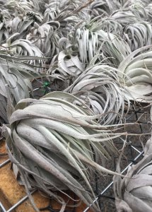 Tillandsia chapeuense (Air Plant)