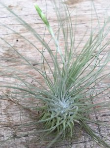 Tillandsia fuschii (Air Plant)