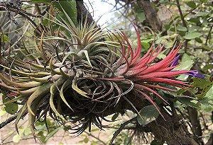 """Tillandsia ionantha """"Quetzaltenango""""(Air Plant)"""