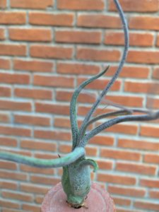 Tillandsia butzii Var Albifolia (Air Plant)
