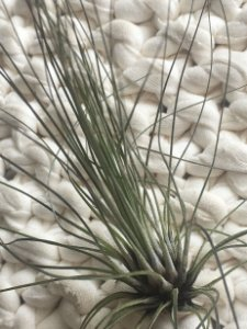 Tillandsia filifolia (Air Plant)