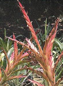 Tillandsia fasciculata RM -Pequena