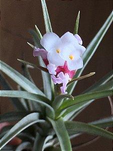 Tillandsia tenuifolia Var. Strobiliformis (Air Plant)