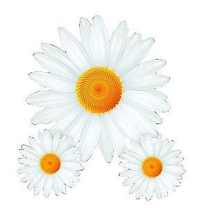 Flor Margarida C/3 | Festança