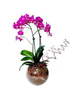 Orquídea Phaleo Baby No Aquário