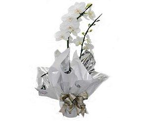 Phalaenopsis Branca