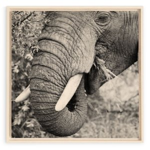 Collection - Kruger Elephant