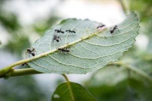 Homeo – Controle Formigas Cortadeiras