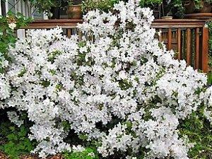 Muda de Azaléia Cor Branca Clonada por estaca já Florece