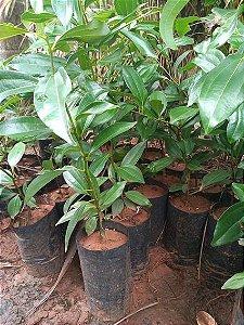 Muda Canela-fogo (Cryptocarya aschersoniana Mez)