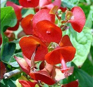 Muda Chapéuzinho Chinês Holmskioldia sanguinea