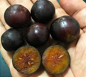 MUDA DE AMEIXA CAFÉ OU  GOVERNADOR ( Flacourtia indica )