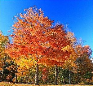 Muda Acer Palmatum ou Momiji - Cor Outonal Amarela