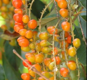 Muda Fruta de tucano ou Pau -viola ou tucaneira Atrai Pássaros