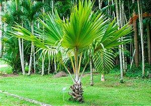 Muda Palmeira Leque