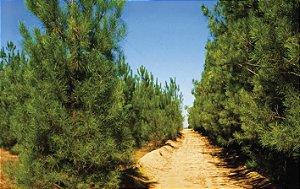 Kit 3 Muda Pinheiro-Bravo - Podocarpus lambertii