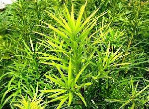 Kit 5 Muda Pinheiro-Bravo - Podocarpus lambertii
