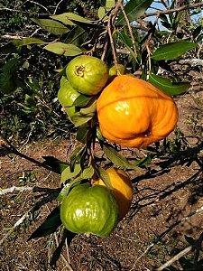 Muda Uvaia Doce Visconde-Eugenia ferro ou IngaBaú