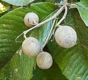 Muda Maiate Ovo- Simira Sampaioana exótica-do Cerrado