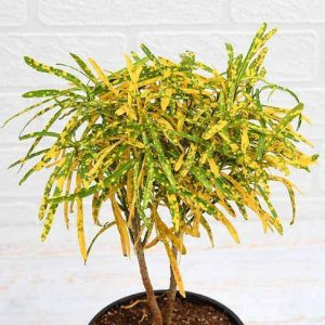 Muda Cróton Brasileirinho - Codiaeum variegatum