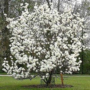 Muda de Magnólia Branca Magnolia grandiflora Clonada Ja solta Flor