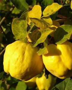 Muda Marmelo  Amarelo Portugal Clone Estaquia