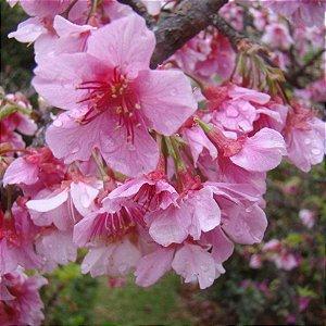 Muda de Cerejeira Japonesa Ornamental Sakura Rosa-enxerto Ja floresce