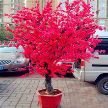 Muda de Cerejeira Japonesa Ornamental  Vermelha -enxerto Ja floresce