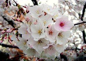Muda de Cerejeira Japonesa Sakura Branca de Flor Dobrada -enxerto Ja floresce