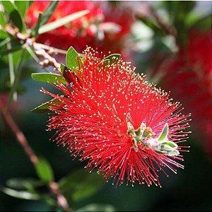 Muda de Calistemo-escova de garafa-Flor Vermelha