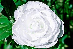 Muda de Camélia Branca