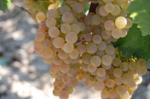 Muda uva Trebbiano enxertada