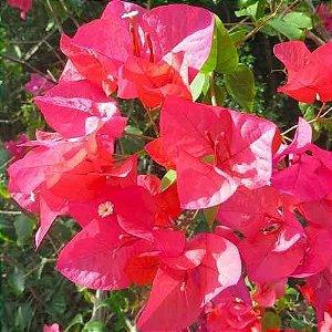 Muda de Primavera Indiana - Bouganville ou Três Marias