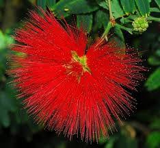 Muda da Flor Caliandra Vermelha