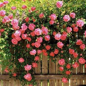 Muda de Mini Rosa Trepadeira enxertadas