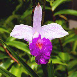 Muda de Orquídea de Bambu - Arundina Bambusifolia