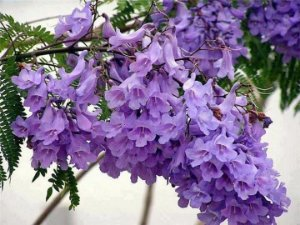 Muda de Jacarandá Mimoso-flor