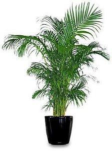 Muda Arecas  Bambu ou Palmeira Família