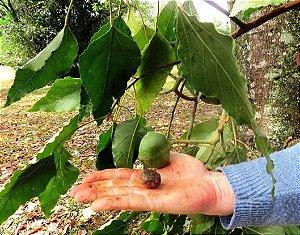 Muda Nóz-da-índia( Aleurites moluccana (L.) Willd)