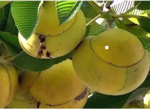 Muda Maçã-de-elefante fruta exótica