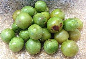 Muda Umbu Fruteira da Caatinga