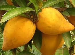 Muda De Canistel Ou Sapota Amarela - Fruta Exótica