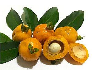 MUDA CEREJA AMARELA do CERRADO ( Eugenia heringeriana )