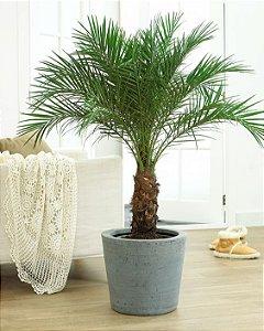 Muda Palmeira Fenix Phoenix Roebilinii