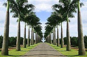 Muda Muda Palmeira Imperial