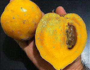 Muda Mangostão Amarelo ( Garcinia cochinchinensis )