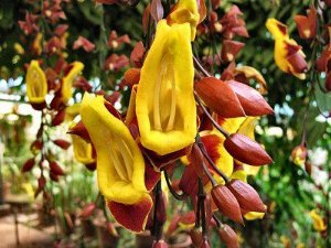Sapatinho de Judia (Thunbergia mysorensis)