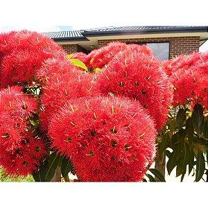 muda Eucalipto de Flores Vermelhas - Eucalyptus ptychocarpa