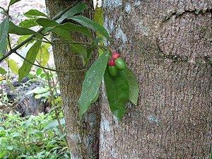 Muda  canela-preta  Ocotea catharinensis