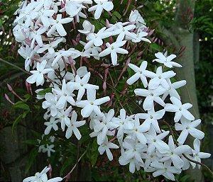 Muda Jasmim Estrela (Jasminum Nitidum)